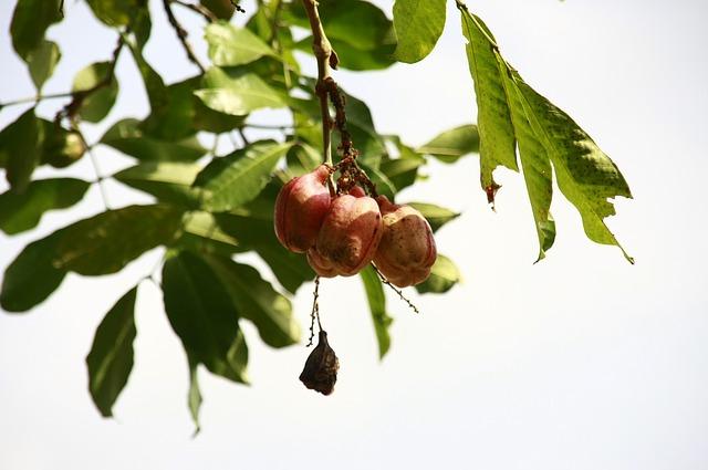 ake meyvesi