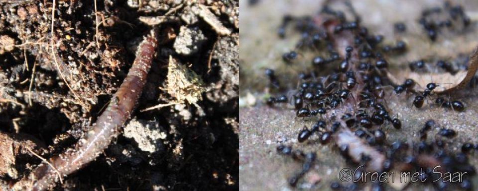 wormen-en-mieren