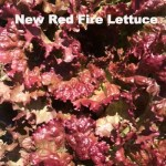 Variety: Leaf Name: New Red Fire Color: Dark Red with Shades of Green Interspersed Size: Large, Full Heads with Exceptional Leaf Qualities Taste: Mild & Delicate