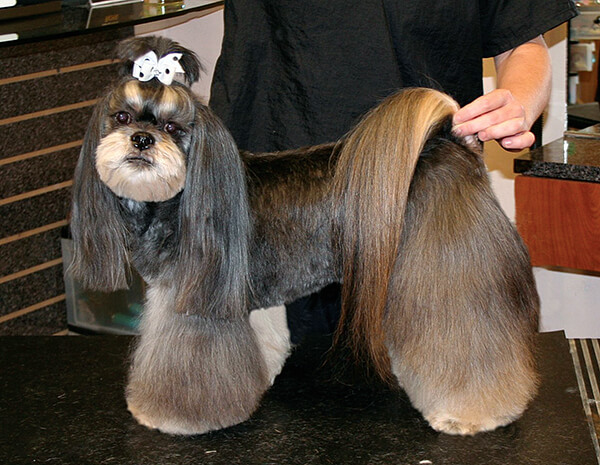 Asian Style Lhasa Groomer To Groomer Pet Grooming News