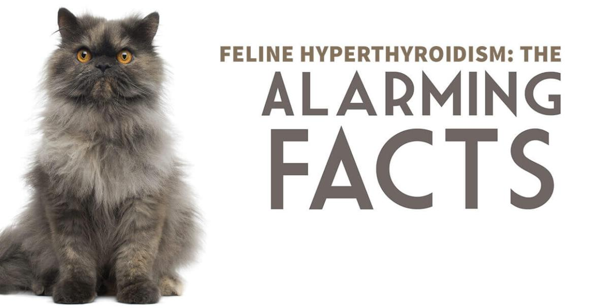 Feline Hyperthyroidism: The Alarming Facts