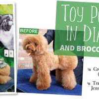 Toy Poodle in Diaper and Broccoli Trim