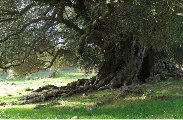 Risultati immagini per alberi secolari