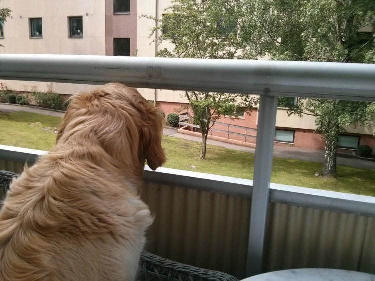 en hund på balkongen