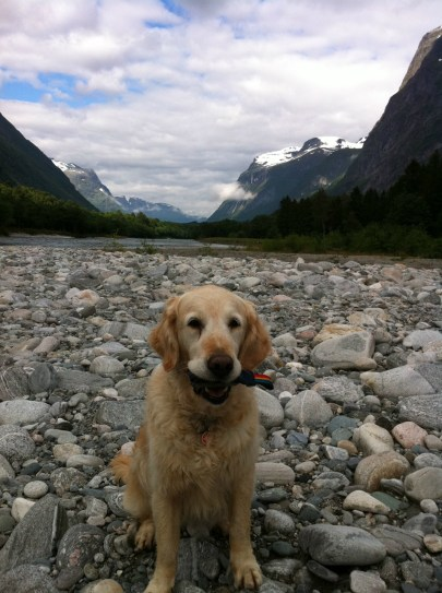 En goldenretriever vid älven i Norge.