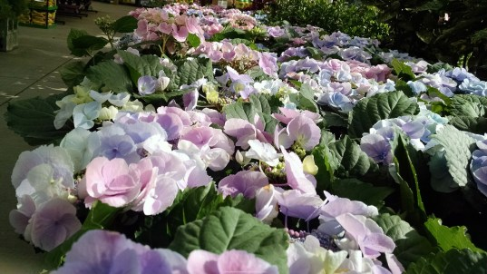 Hydrangeas on display 1024x576 Best Flowers To Plant In Spring