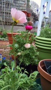 Poppies and Ranunculus 169x300 Best Flowers To Plant In Spring