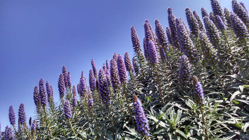 Echiums majestic long flowering perennials purple echium against sky sm echiums majestic long flowering perennials mightylinksfo