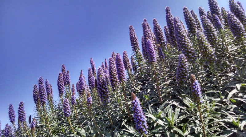 Long blooming perennials, Echium