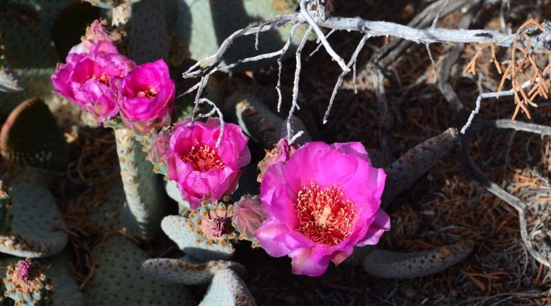 Gravel garden, Beaver Tail Cactus