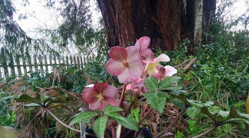 Winter gardening, Helleborus