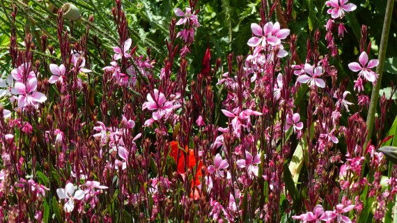 Gaura 1024x575 10 Top Perennials For Summer   Anywhere!