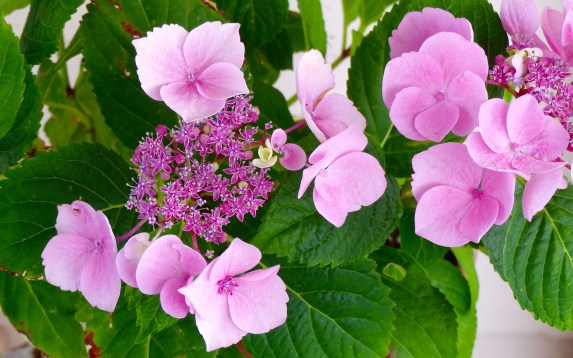 Potted hydrangea 1024x640 10 Top Perennials For Summer   Anywhere!