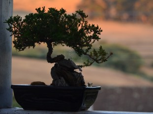 Spuds bonsai 300x223 Bonsai Beginner   Bewitched and Bewildered