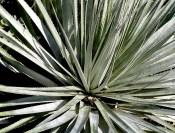 P1040036 175x133 Ruth Bancrofts Succulent Garden
