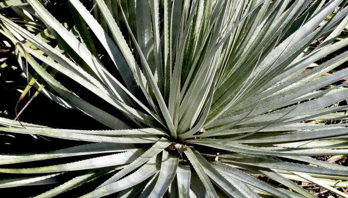 P1040036 700x400 Ruth Bancrofts Succulent Garden