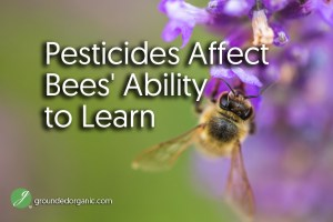 Pesticides Affect Bees' Ability to Learn