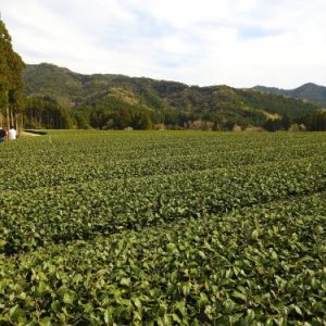 Tea garden managed with TLC