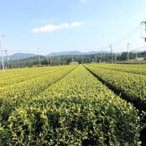Organic tea farm