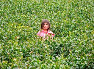 Young Kana in Tea field