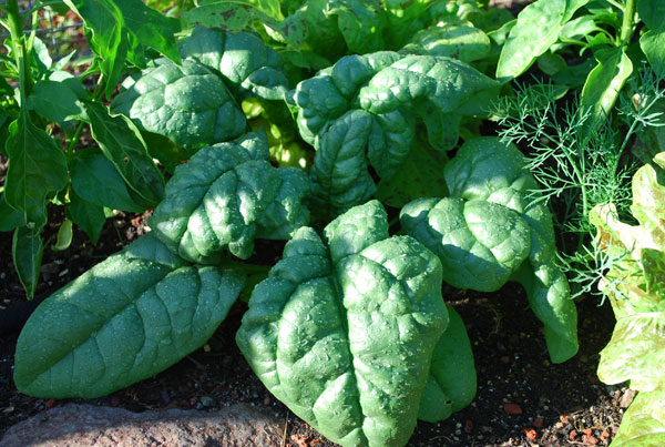 https://i1.wp.com/www.grow-it-organically.com/images/growing-spinach-tyee1-lg.jpg