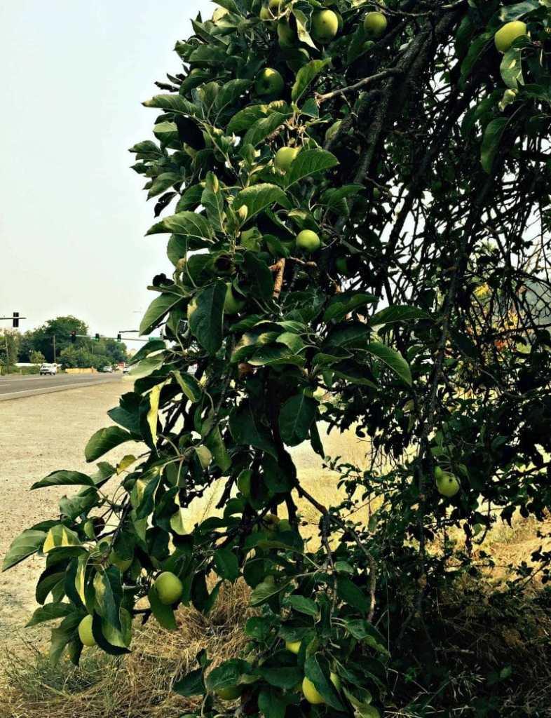 apple tree side of road