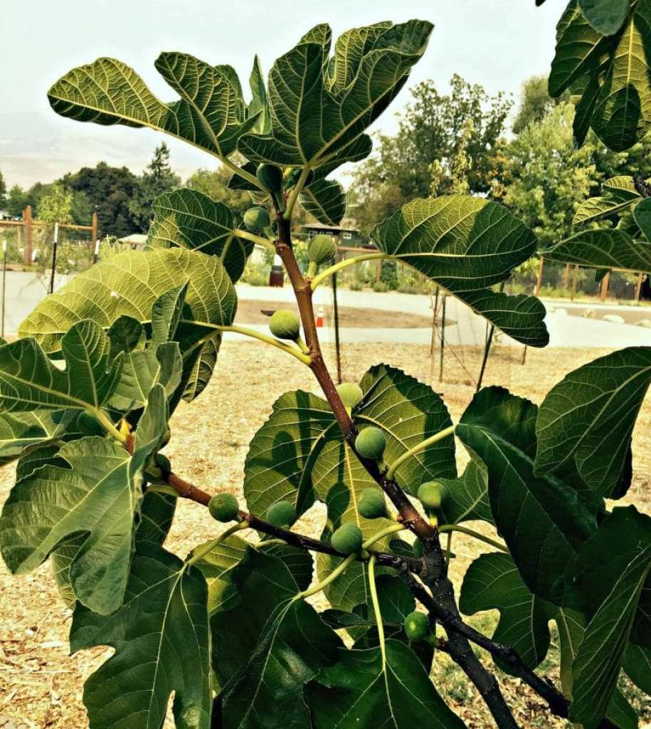 fig tree in park