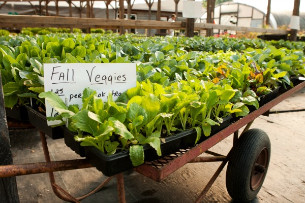 What To Plant In A Fall Vegetable Garden Growing A Greener World