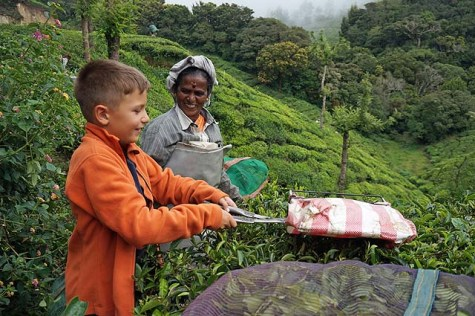 Trimming the tips of the tea leaves in Munnar , India