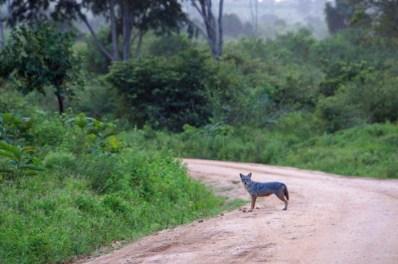 Jackal at Udawalawe NP