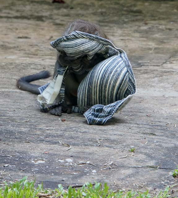 monkey thief Bako National Park