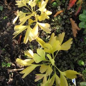G Biloba seedlings