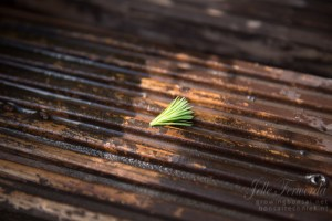 Plucked Larch growing tip
