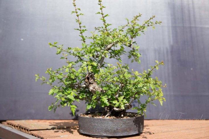 Bonsai hawthorn before spring trim