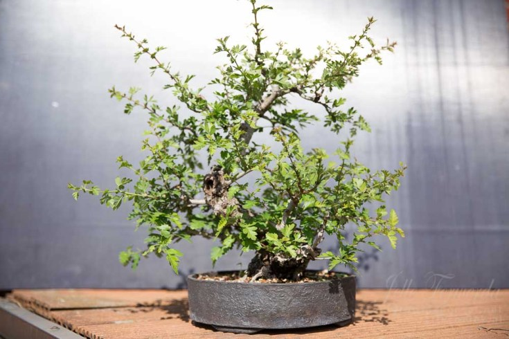 Bonsai hawthorn after spring trim
