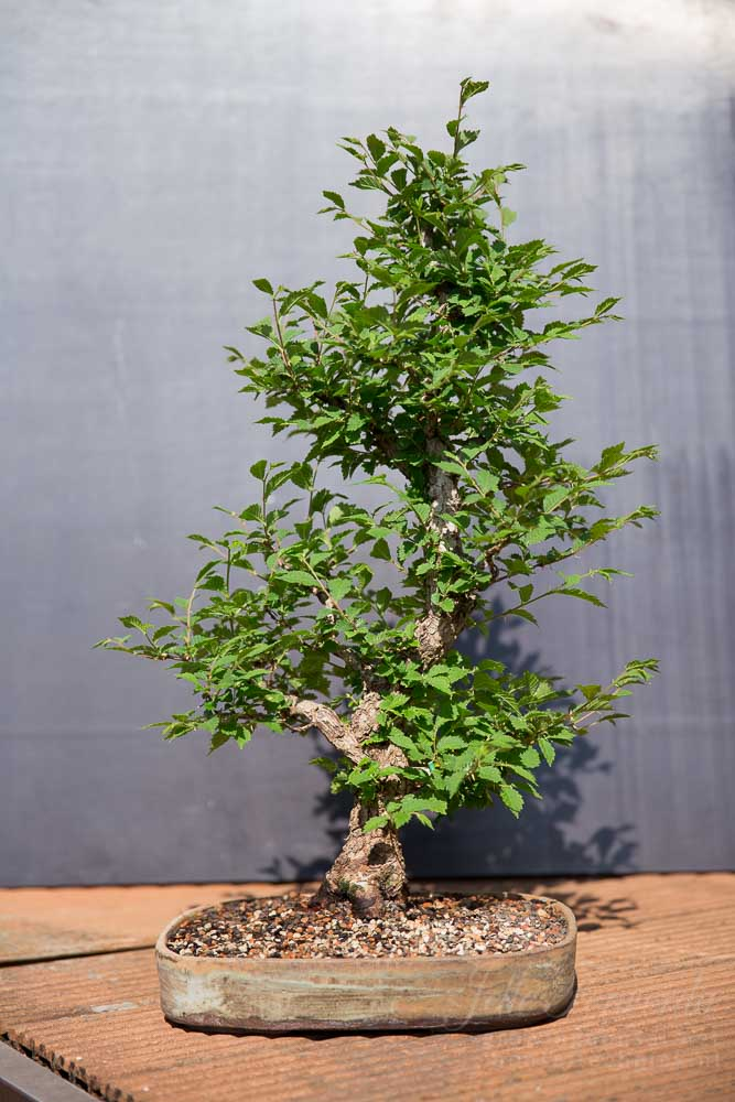 Bonsai ulmus before spring trim