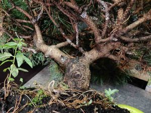 Mugo pine trunkline