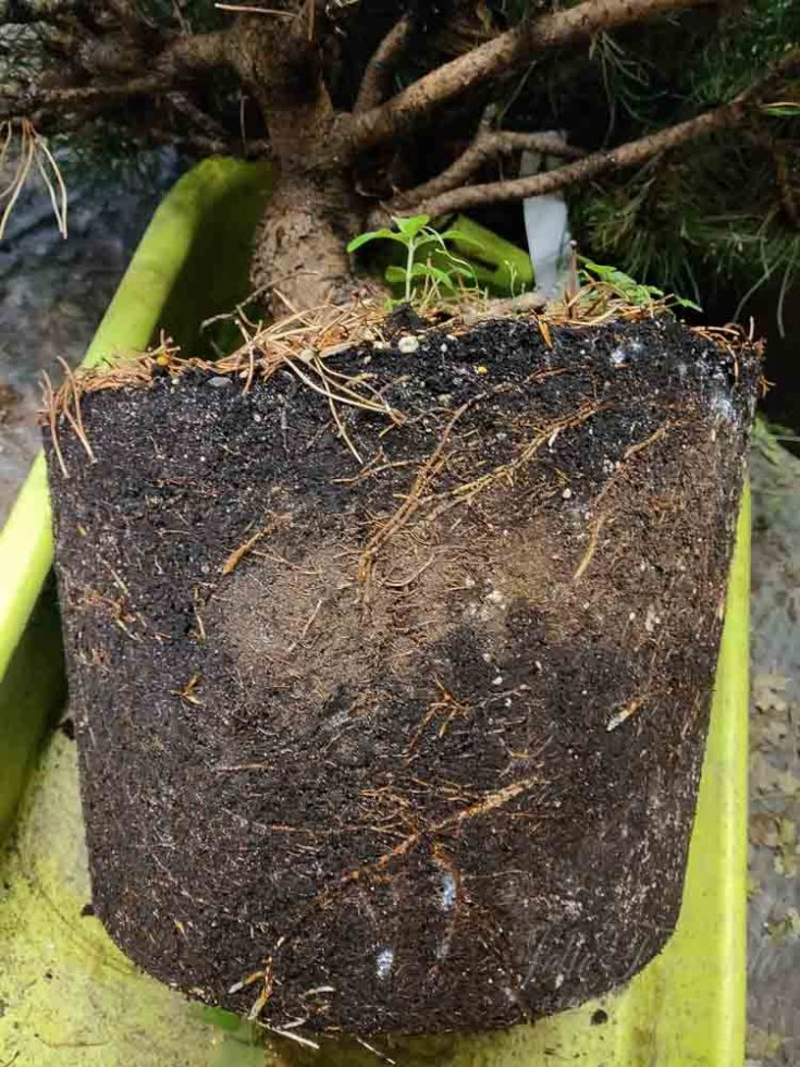 Mugo pine rootball