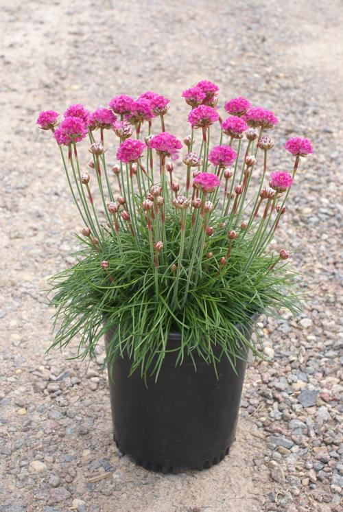Sea Thrift Armeria Maritima Splendens From Growing Colors