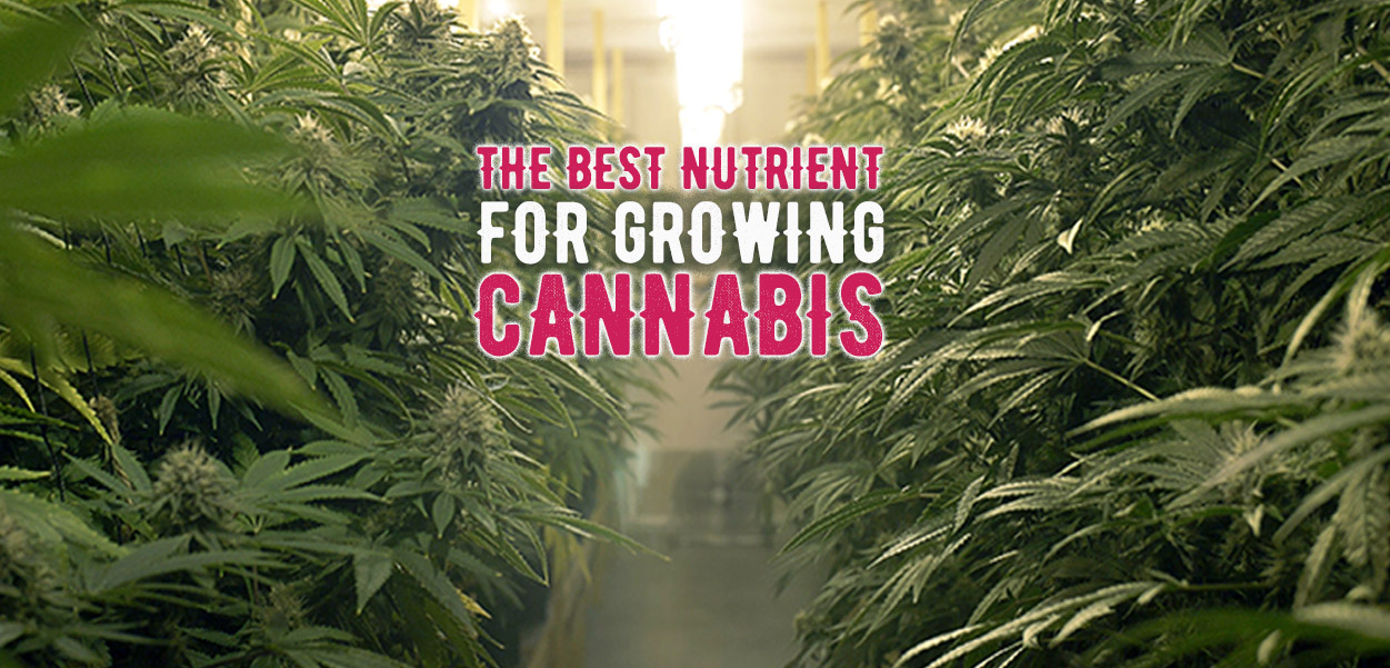 The best nutrient to grow marijuana
