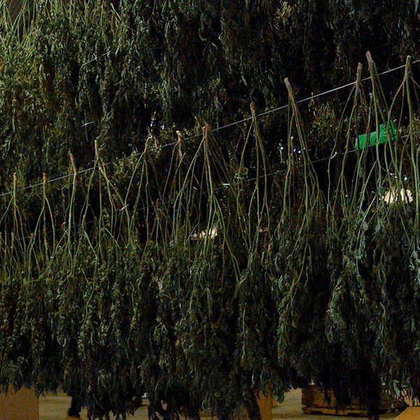 tons of weed drying