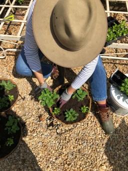 planting up hanging baskets