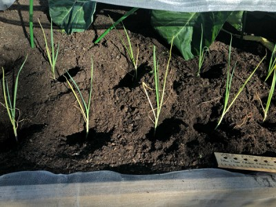 1---winter-cropping-leeks