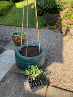 planting-out-sweetpeas