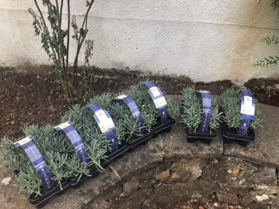 lavender-plugs