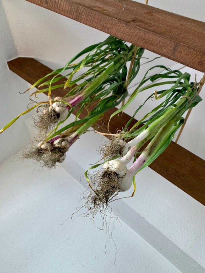 curing-garlic