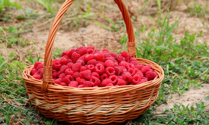 A Simple Guide to Tying up Raspberries. This easy method can improve yields and ease of harvest.