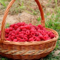 A Simple Guide to Tying Up Raspberries
