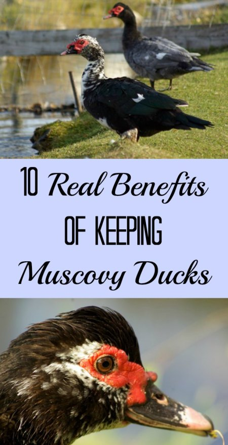 Muscovy ducks are popular choices on the homestead. Here are some of the pros of these ducks. (The list doesn't include meat or egg production!)
