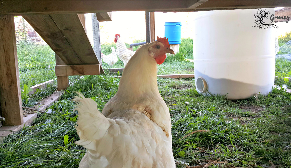 Automatic Chicken or Duck Feeder: Everything to Consider
